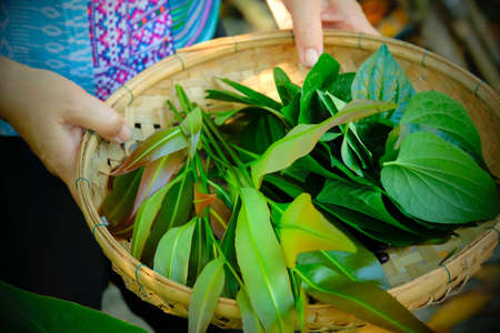 Close-up female gardener carrying bamboo basket with a variety of fresh herbs, organic salad, piper sarmentosum and other vegetables in a tropical garden. Focus on green leaves.