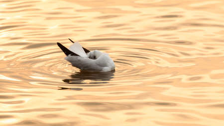 A seagull sleeping while floating in a sea at sunset. Bird migration. Close-up. Selective focus.