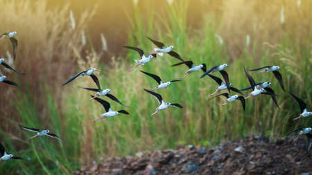 A flock of black-winged stilt birds flying over a lake during great migration in Asia. Migratory wild birds. Bird migration. Motion blurred.