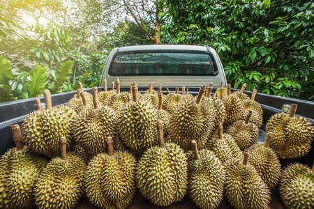 Durian harvesting. Pickup truck in an orchard full of fresh durian, the king of fruits in Southeast Asia. Chanthaburi, Thailand. Transportation. Selective focus.