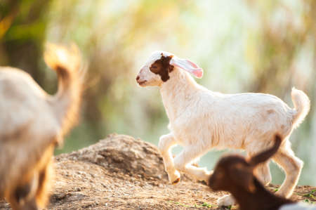 A herd of white goats kids running on a pasture at sunrise. Domestic goat.