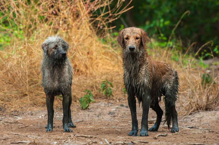 Dirty and funniest from mud, two dogs stands next to a mud, portrait muddy a Schnoodle stands next to a muddy Golden Retriever.