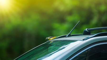 A Grey wagtail perching on a car roof while looking at itself in a mirror. Sunrise shines through green forest blurred in the backgrounds. Focus on a bird. Imagens