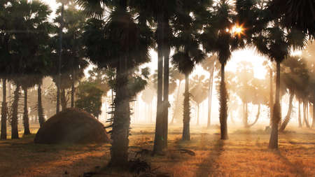 Landscape palm plantation in the morning mist. Straw stack in the rice fields. Silhouette. Soft focus.