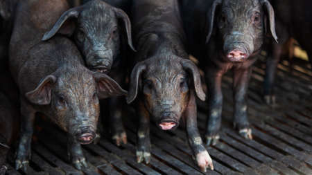 A herd of domestic black piglets stands in a stall. Asian livestock. Black piglets looks at the camera. Close-up. Selective focus.