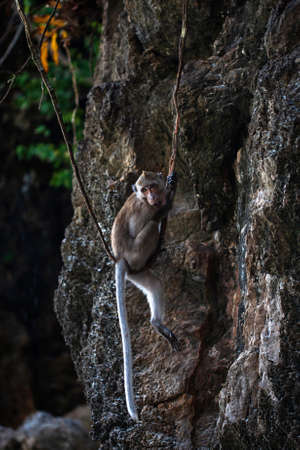 A crab-eating macaque playing and swinging on a vine swing in a mangrove forest. Close-up. Imagens