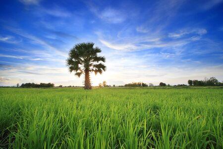 rice field on blue sky photo