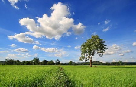 a tree on rice field Stock Photo - 7243276