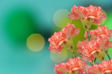 abstract of colorful pink  carnation flowers on bokeh background