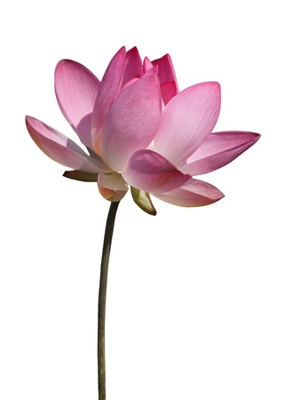 Beautiful lotus flower isolated on white Banco de Imagens