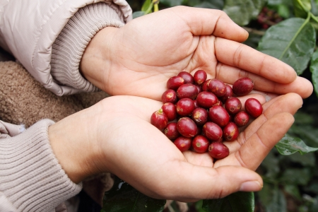 coffee harvest: Close up red coffee beans on agriculturist hand Stock Photo