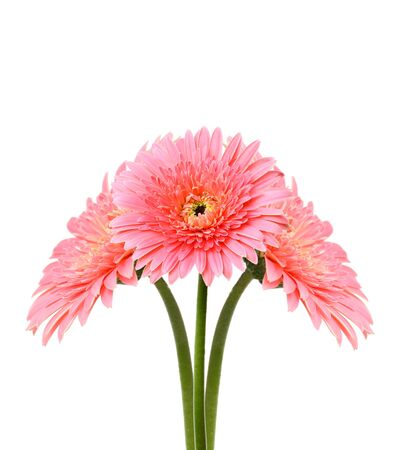 botan: Pink gerbera flower isolated on white  Stock Photo