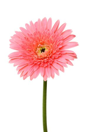 Pink single gerbera flower isolated on white photo