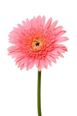 botan: Pink single gerbera flower isolated on white