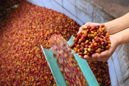 planta de cafe: Proceso h�medo de caf� arabica