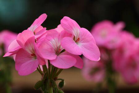 ピンクのゼラニウムの花