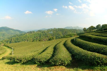 boh: Tea Plantation in Highland, Thailand