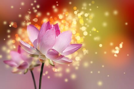 effloresce: Beautiful lotus flower colorful background Stock Photo