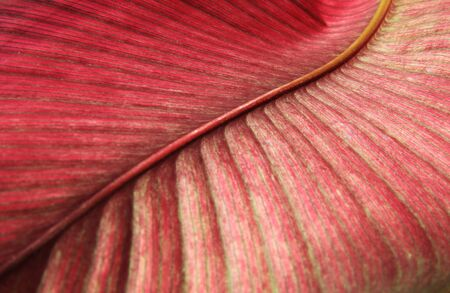 Abstract nature beautiful of leaves background.Close up Red detail of leaf texture.