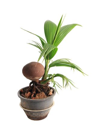 Coconut bonsai object isolated on white background