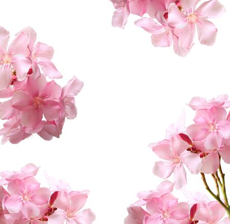 Collection of Oleander flowers for placing the product in the middle. Pink flower isolated on white background. Imagens