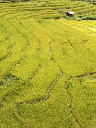 rice terrace: Green rice terrace