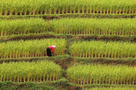 ricefield: Farmer is taking care his rice terraces
