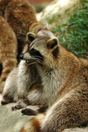 raccoon Stock Photo - 8296039