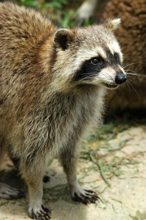 raccoon Stock Photo - 8296029