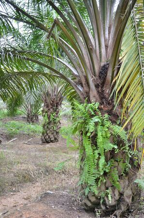 oil palm tree Stock Photo - 8851910