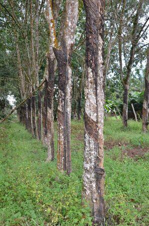 rubber tree Stock Photo - 8851906