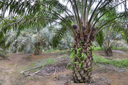 oil palm tree photo