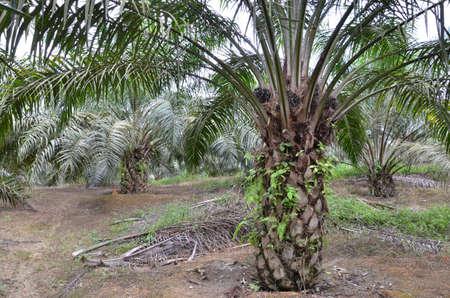 oil palm tree Stock Photo - 8851911