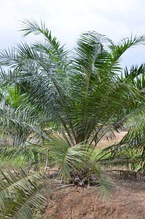 Oil palm tree  photo