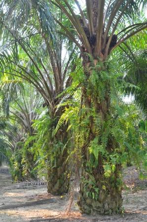 Palm Oil Plantation Stock Photo - 14080233