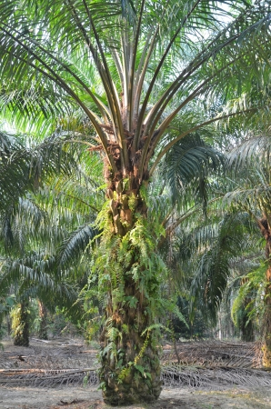 cpo: Palm Oil Plantation Stock Photo