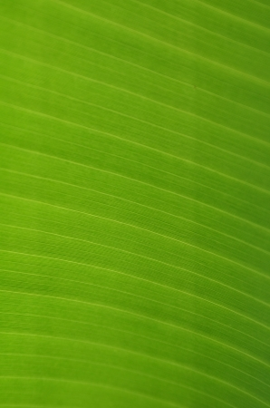 banana leaves photo