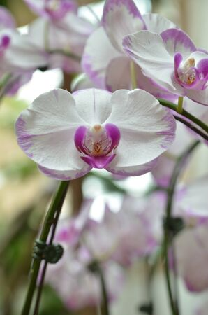 White Orchids photo