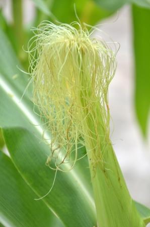 non cultivated: Green corn