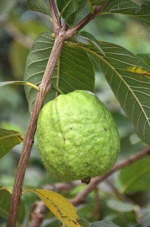 guava: Guava  Stock Photo