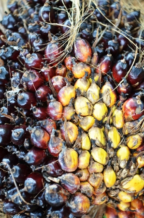 Palm oil fruit photo