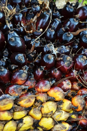 Palm oil fruit Stock Photo - 16951312