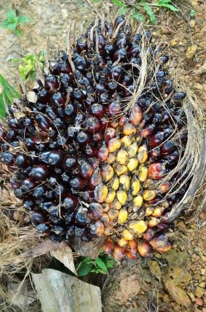 Palm oil fruit Stock Photo - 16951294