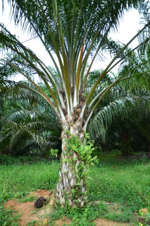 Palm oil plantation Stock Photo - 16951295