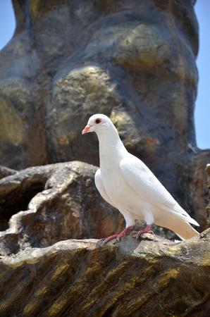 White pigeon photo