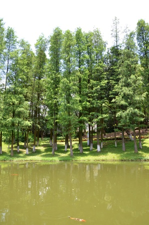 Pine trees by the lake side photo