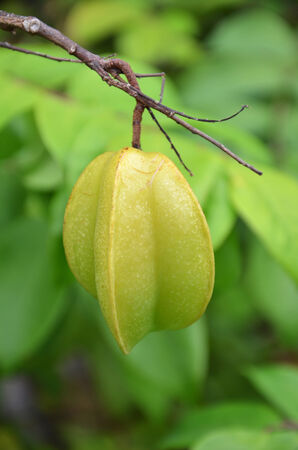 Starfruit on the tree photo