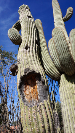 saguaro: Tall Saguaro Cactus with blue sky as background