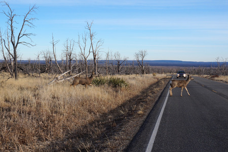 deer hunting: Buck Deer walks across road  Stock Photo