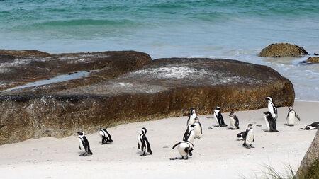 pinguinera: Colonia de ping�inos en la playa